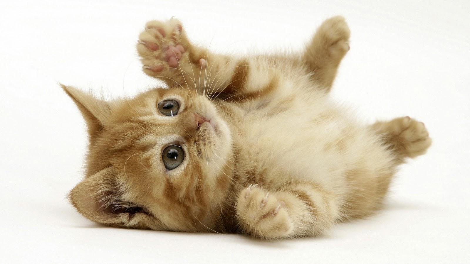 کنسرو غذای گربه